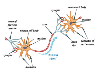 Diagram of neurons and electrical signals